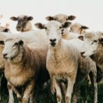 2 Things We Must Do Because the Bible Calls us Sheep